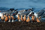 Red knots and laughing gulls at Reeds beach