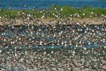 Spring shorebird migration