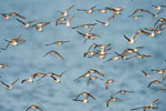 Semi-palmated sandpipers in flight