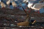 Horseshoe crab and laughing gulls