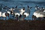 Laughing gulls feeding on horseshoe crab eggs