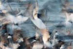 Laughing gull feeding frenzy; motion