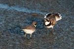 Semi palmated plovers in late May; aggressive behavior
