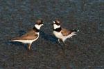 Semi-palmated plovers; aggressive behavior