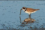 Semi-palmated plover foraging;  with marine worm