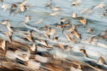 Shorebird flight; motion