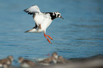 Ruddy turnstone about to land
