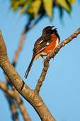 Eastern Towhee singing at first light