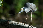 Yellow crowned night heron with stick