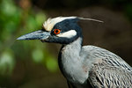 Adult yellow-crowned night heron up close