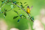 Yellow warbler with raised wings