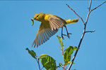 Yellow warbler flies with insects for young