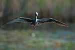 Yellow-crowned night heron flight