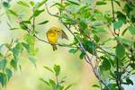 Preening yellow warbler in pastel colors of early light