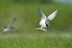 Common tern above nesting grounds