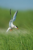 Common tern with fish hovers above nesting grounds