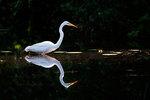 Great egret foraging on pond