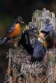 Robin feeding nestlings