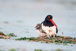 Oystercatcher with very young chick