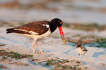 Oystercatcher feeding chick in late light