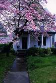 Clapboard house with dogwood in spring