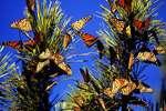 Monarch cluster during autumn migration