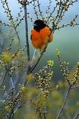 Male Baltimore oriole in budding beach plum