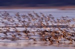 Shorebirds and ducks-motion