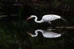 Great egret foraging
