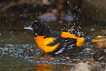 Baltimore oriole bathing