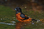 Orchar oriole bathing
