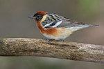 Bay-breasted warbler, spring migration