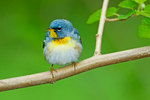 Northern parula in spring