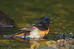 American redstart bathing
