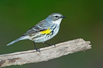 Yellow rumped warbler, female