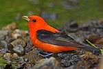 Scarlet tanager drinking