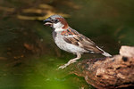 Male house sparrow during heatwave
