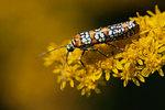 Ailanthus webworm moth on goldenrod