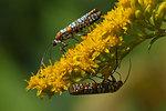 Ailanthus webworm moth nectaring on goldenrod