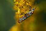 Ailanthus webworm moth on goldenrod