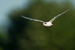 Juvenile Forster's tern in flight