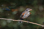 Young robin with black cherry fruit