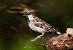 House sparrow at pond