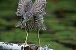 Black-crowned night heron wing-stretch
