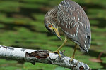 Juvenile black-crowned night heron up close