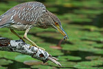 Black-crowned night heron with prey
