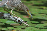 Juvenile black-crowned night heron with aquatic prey