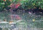 Wood duck on late summer pond
