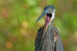 Great blue heron yawning