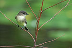 Eastern phoebe on October pond